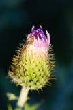 Cardo de Wavyleaf - undulatum del Cirsium Fotografía de archivo libre de regalías