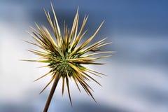 Cardo del desierto Imagen de archivo