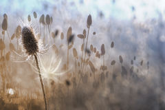 Cardo del otoño con los contornos blancos de la luz trasera Imágenes de archivo libres de regalías