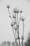 Cardo en invierno Fotografía de archivo libre de regalías