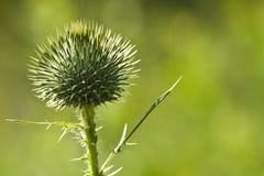 Cardo escocés (acanthium del Onopordum) Foto de archivo libre de regalías