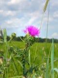Cardo escocés en campo verde del verano Imagen de archivo libre de regalías