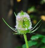 Cardo in fioritura Fotografia Stock Libera da Diritti