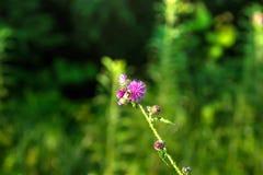 Cardo Flor del campo Imagen de archivo