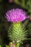 Cardo floreciente de la espina dorsal en el bosque fotografía de archivo