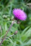 Cardo floreciente, emblema de Escocia fotografía de archivo