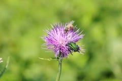 Cardo japonés con la abeja y el escarabajo Fotografía de archivo libre de regalías