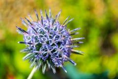 Cardo na flor Imagens de Stock