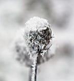 Cardo no inverno Foto de Stock