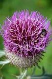 Cardo púrpura Foto de archivo libre de regalías