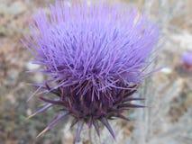 Cardo púrpura de la alcachofa imágenes de archivo libres de regalías