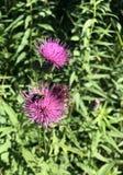 Cardo púrpura salvaje Imágenes de archivo libres de regalías