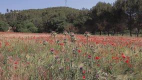 Cardo que balancea en el viento con las amapolas rojas en un campo de trigo en fondo Provence, Francia almacen de metraje de vídeo