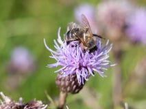 Cardo rosado que crece en verano con la abeja Foto de archivo libre de regalías