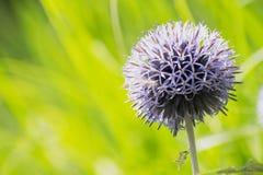 Cardo roxo da bola com profundidade de grama verde do fundo do campo Natureza fresca verão Foto de Stock Royalty Free