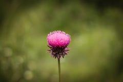 Cardo roxo solitário Foto de Stock