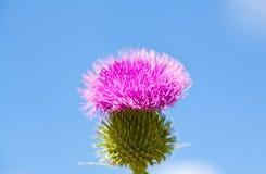 Cardo salvaje con la flor rosada en fondo del cielo azul Fotografía de archivo