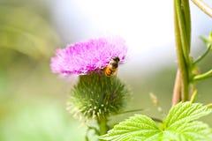 Cardo salvaje con la flor y la abeja rosadas en fondo verde Imagen de archivo