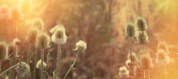 Cardo seco - bardana en prado, en última hora de la tarde Fotografía de archivo