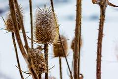 Cardo seco en el invierno en el campo Thistle_ espinoso imagen de archivo libre de regalías