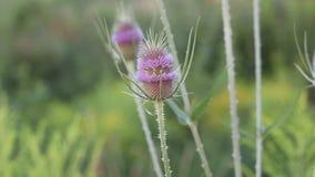 Cardo selvaggio di fioritura che si muove nel vento stock footage
