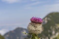 Cardo selvatico alpino (defloratus del Carduus) Fotografie Stock Libere da Diritti
