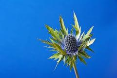 Cardo selvatico blu Immagine Stock Libera da Diritti