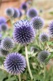 Cardo selvatico blu fotografia stock