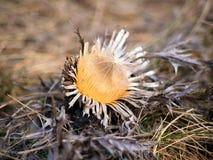 Cardo selvatico carline nano nell'inverno Fotografia Stock