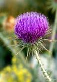 Cardo selvatico che cresce nelle montagne della Turchia immagine stock libera da diritti