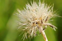Cardo selvatico - cirsium-vulgare fotografie stock libere da diritti