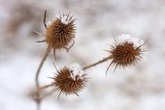 Cardo selvatico coperto di neve immagine stock