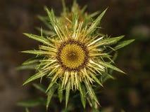 Cardo selvatico deciduo delle FO del fiore fotografia stock
