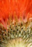 Cardo selvatico del primo piano alla luce rossa Fotografie Stock