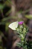 Cardo selvatico della farfalla Fotografie Stock