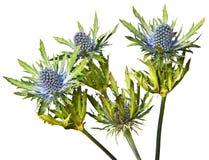 Cardo selvatico di alpinum del Eryngium Immagini Stock