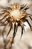 Cardo selvatico di cotone da Andalusia immagine stock