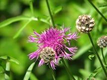Cardo selvatico di fioritura Fotografie Stock Libere da Diritti