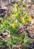 Cardo selvatico di fioritura Fotografia Stock