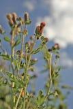 Cardo selvatico di fioritura Immagini Stock