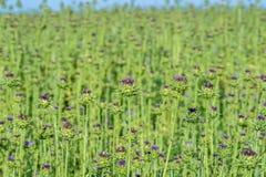 Cardo selvatico di fioritura su fondo confuso Fotografia Stock Libera da Diritti