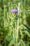 Cardo selvatico di fioritura su fondo confuso Immagine Stock Libera da Diritti