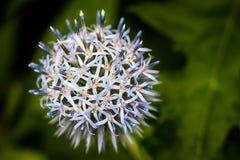 Cardo selvatico di globo bianco di fioritura Fotografie Stock Libere da Diritti