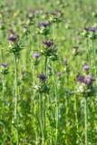 Cardo selvatico di latte - una pianta erbacea dell'asteraceae della famiglia Fotografie Stock Libere da Diritti