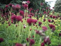 Cardo selvatico di ruscello porpora rosso in fioritura immagini stock