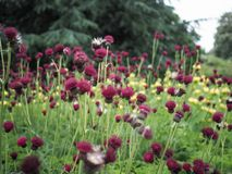 Cardo selvatico di ruscello porpora rosso in fioritura fotografia stock