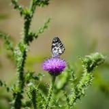Cardo selvatico e Buterfly Fotografia Stock Libera da Diritti