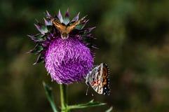 Cardo selvatico e Butterflys Immagini Stock