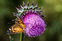 Cardo selvatico e farfalla Immagini Stock Libere da Diritti