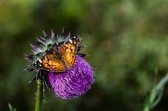 Cardo selvatico e farfalla Fotografie Stock